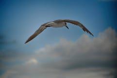 Gabbiano di volo di Florida Fotografia Stock