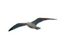 Gabbiano di volo isolato su bianco Fotografia Stock Libera da Diritti