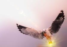 Gabbiano di volo nel cielo con effetto del chiarore di illuminazione del sole Fotografia Stock Libera da Diritti