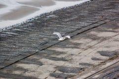 Gabbiano di volo sopra la spiaggia Fotografie Stock