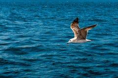 gabbiano di volo sopra le onde Immagini Stock