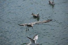 Gabbiano di volo sopra un primo piano del mare Fotografie Stock