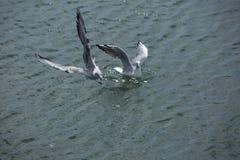 Gabbiano di volo sopra un primo piano del mare Immagine Stock