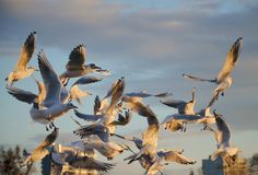 Gabbiano di volo, uccelli, cielo Immagine Stock Libera da Diritti