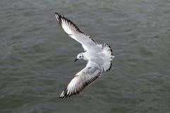Gabbiano di volo, vista superiore fotografia stock