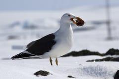 Gabbiano domenicano che sta sulla neve con il riccio di mare Immagini Stock