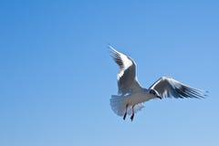 Gabbiano durante il volo Immagini Stock Libere da Diritti