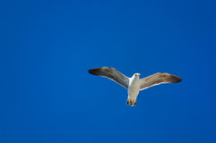Gabbiano durante il volo Fotografie Stock Libere da Diritti