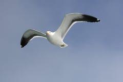 Gabbiano durante il volo contro cielo blu Fotografia Stock Libera da Diritti