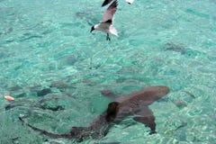 Gabbiano e squalo Immagini Stock