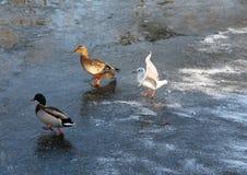 Gabbiano ed anatre sul ghiaccio Immagine Stock Libera da Diritti