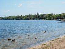 Gabbiano ed oche canadesi sulla riva orientale 2 del lago gull immagini stock libere da diritti