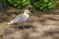 Gabbiano ferito, uccello bianco immagine stock libera da diritti