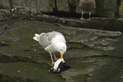 Gabbiano Glaucous che mangia un guiilemot guasto Fotografia Stock