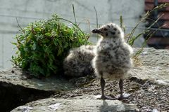 Gabbiano inquisitore Chick With Feet Firmly sulla terra! Fotografia Stock