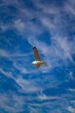 Gabbiano nel cielo Immagini Stock