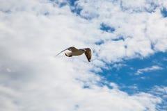 Gabbiano nel cielo, cielo blu Fotografia Stock