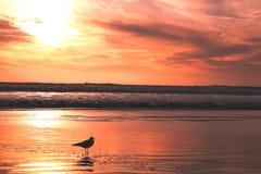 Gabbiano nel tramonto fotografia stock libera da diritti