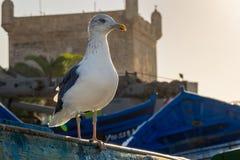 Gabbiano nel vecchio porto di pesca di Essaouira immagine stock libera da diritti