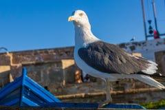 Gabbiano nel vecchio porto di pesca di Essaouira immagini stock libere da diritti