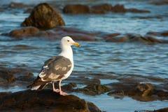 Gabbiano nella linea costiera Fotografia Stock