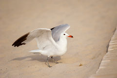 Gabbiano nella sabbia della spiaggia Fotografia Stock