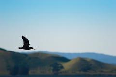 Gabbiano nero durante il volo Fotografie Stock
