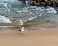 Gabbiano occidentale, gabbiano che cammina sulla spiaggia in Monterey California, U.S.A. Fotografie Stock