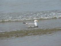 Gabbiano praticante il surfing immagine stock