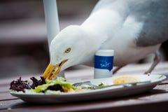 Gabbiano reale nordico affamato Immagine Stock Libera da Diritti