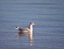 Gabbiano reale nordico che galleggia sulla superficie dell'acqua in tempo calmo Fotografia Stock Libera da Diritti