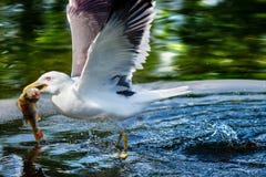 Gabbiano reale nordico che pesca un pesce Immagini Stock Libere da Diritti