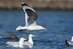 Gabbiano reale nordico, gabbiano di mare, argentatus di larus Fotografia Stock Libera da Diritti
