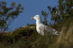 Gabbiano reale nordico scandinavo Fotografie Stock