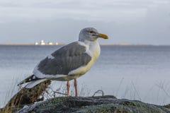 Gabbiano reale nordico su roccia con il fondo di vista sul mare fotografia stock libera da diritti