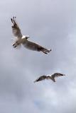 Gabbiano, salente nel cielo blu Fotografia Stock
