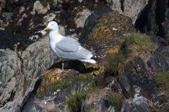 Gabbiano seduto su roccia Fotografia Stock