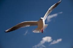 Gabbiano siberiano che openning le sue ali che volano altamente Immagini Stock