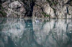 Gabbiano solo che sorvola acqua nell'Alaska fotografie stock libere da diritti