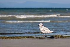 Gabbiano solo che sta sulla spiaggia Immagine Stock Libera da Diritti
