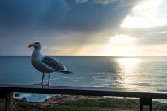 Gabbiano in Sonoma fotografie stock libere da diritti
