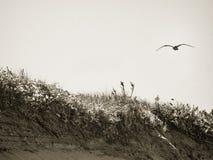 Gabbiano sopra le dune Immagine Stock Libera da Diritti
