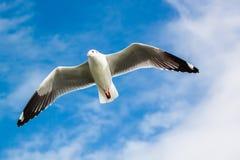 Gabbiano sotto il cielo blu Fotografia Stock