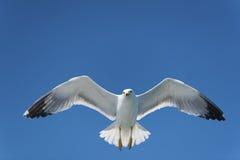 Gabbiano su cielo blu immagini stock libere da diritti