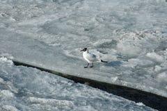 Gabbiano su ghiaccio rotto Immagine Stock