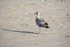 Gabbiano su Sandy Beach fotografia stock