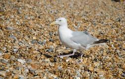 Gabbiano su una spiaggia pietrosa fotografie stock