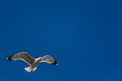 Gabbiano sul cielo, fondo blu Fotografia Stock