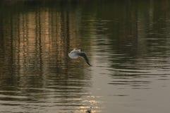 Gabbiano sul fiume Immagine Stock