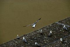 Gabbiano sul fiume il Tevere fotografie stock libere da diritti